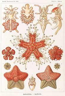 220px-Haeckel_Asteridea.jpg