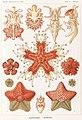 Haeckel Asteridea.jpg