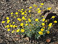 Hairy desert sunflower (Geraea canescens); Pinto Basin - 12525698795.jpg