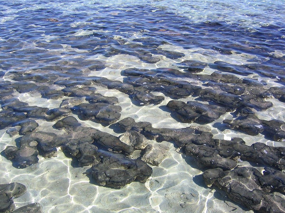 Hamelin Pool (Stromatolites) (2051681803).jpg