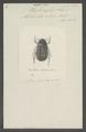 Haplonycha - Print - Iconographia Zoologica - Special Collections University of Amsterdam - UBAINV0274 020 04 0014.tif