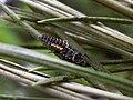 Harmonia quadripunctata larva I4 - Hengelo20070603.jpg