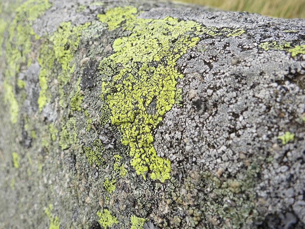 Zemepisník (Rhizocarpon alpicola)