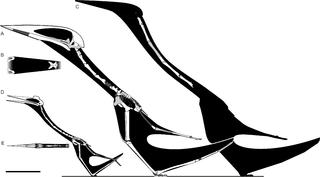 Hatzegopteryx Size File:Hatzegopteryx-Wit...