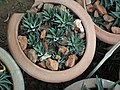 Haworthia from Lalbagh garden 8708.JPG