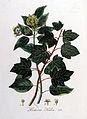 Hedera helix — Flora Batava — Volume v8.jpg