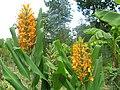 Hedychium au Jardin Jungle Karlostachys.jpg