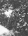 Helen Roethke, mother of Theodore Roethke, standing in a flower garden, Saginaw, Michigan, ca 1920 (PORTRAITS 688).jpg