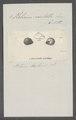 Helicina neritella - - Print - Iconographia Zoologica - Special Collections University of Amsterdam - UBAINV0274 083 01 0002.tif