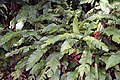 Heliconia bihai 1zz.jpg