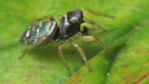 File:Heliophanus sp - 2013-06-03.webm