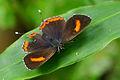 Heliophorus ila matsumurae female back 20130928.jpg