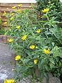 HeliopsisHelianthoides3.jpg