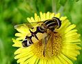 Helophilus trivittatus Syrphidae.jpg