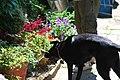Helpful Dog - panoramio.jpg