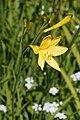 Hemerocallis lilioasphodelus 02.jpg