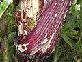 Heracleum mantegazzianum .R.H. 09.jpg