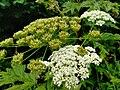 Heracleum mantegazzianum 110728629.jpg