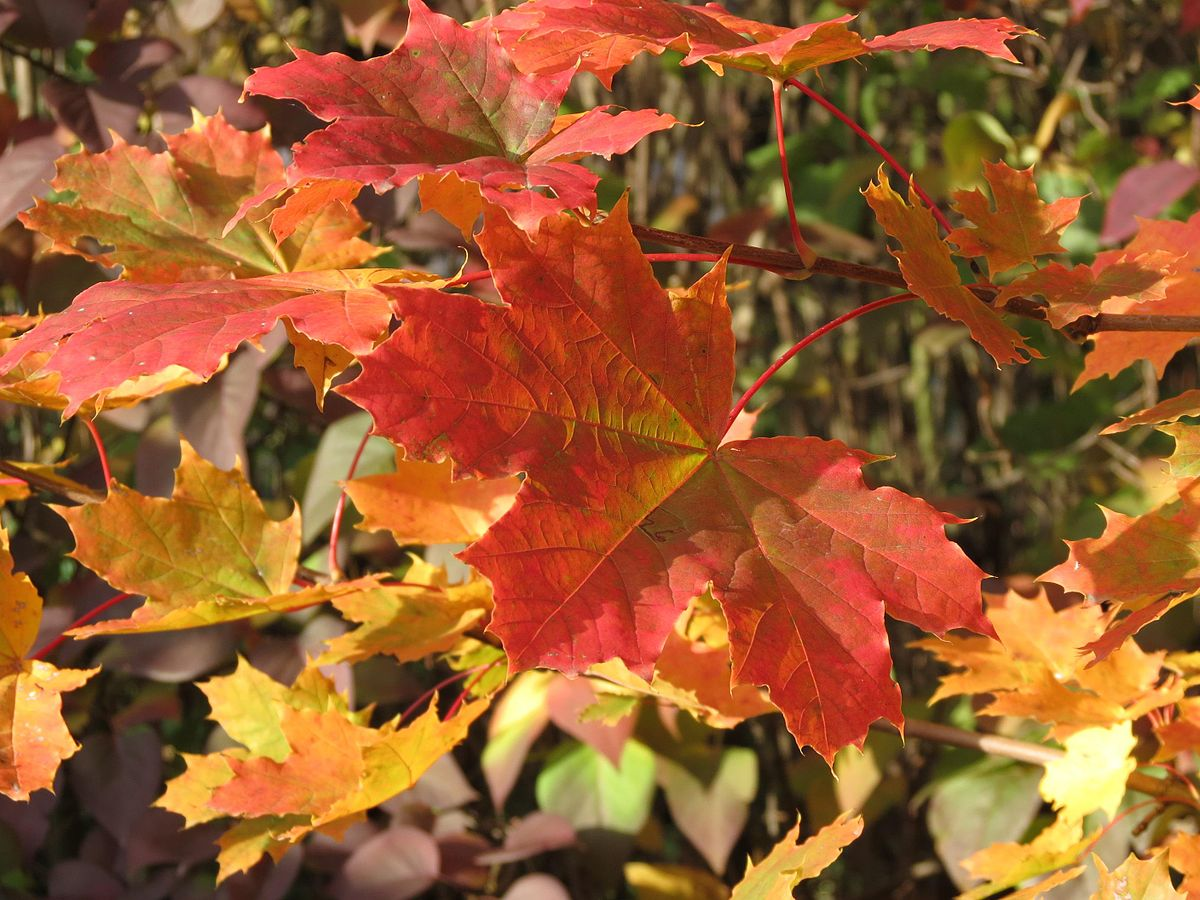 Herbstlaub Spitzahorn 4.jpg
