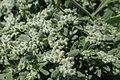 Herniaria hirsuta kz02.jpg