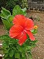 Hibiscus(Rose Mallow).jpg