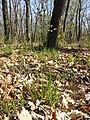 Hierochloe australis sl59.jpg