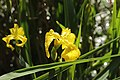 Hilden 25.05.2017 Yellow Flag - Iris pseudacorus (35356892201).jpg