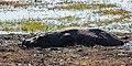 Hipopótamo (Hippopotamus amphibius), parque nacional de Chobe, Botsuana, 2018-07-28, DD 06.jpg