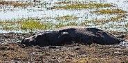 Hipopótamo (Hippopotamus amphibius), parque nacional de Chobe, Botsuana, 2018-07-28, DD 06