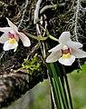 Holcoglossum nujiangense flowers.jpg