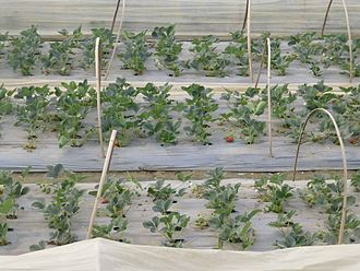 Hongta District - Strawberry fields in Hongta District
