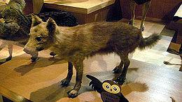 Honshu-wolf.jpg