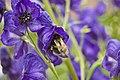 Hortus Botanicus Amsterdam Bumblebee at work (2621346723).jpg