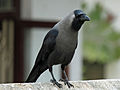 House Crow RWD2.jpg