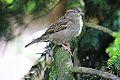 House Sparrow (10529319506).jpg