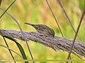 House Sparrow (Passer domesticus) (15708368319).jpg