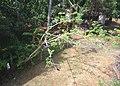 House crow trichy PIC 0050.jpg