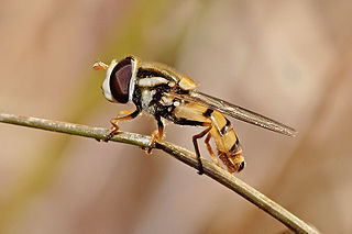 <i>Simosyrphus grandicornis</i>