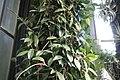 Hoya carnosa 17zz.jpg