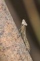 Humbertiella-Kadavoor-2016-04-09-002.jpg