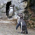 Humboldt-Pinguin Tierpark Hellabrunn-1.jpg