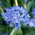Hyacinthoides italica in Jardin des Plantes 04.jpg