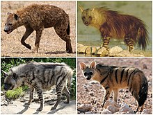 Hyaenidae Diversity.jpg