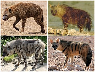 Hyena family of carnivoran mammal