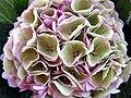 Hydrangea bouquet (9580026536).jpg