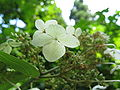 Hydrangea paniculata3.jpg