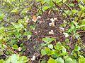 Hydrangea petiolaris 2017-04-30 8917.jpg