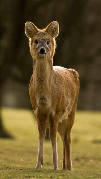 Water deer - Chinese water deer (Hydropotes inermis inermis) at the Whipsnade Zoo