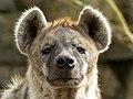 Hyena Pairi Daiza (38677294352).jpg