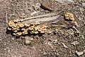 Hypholoma fasciculare in Haute-Savoie (9).jpg